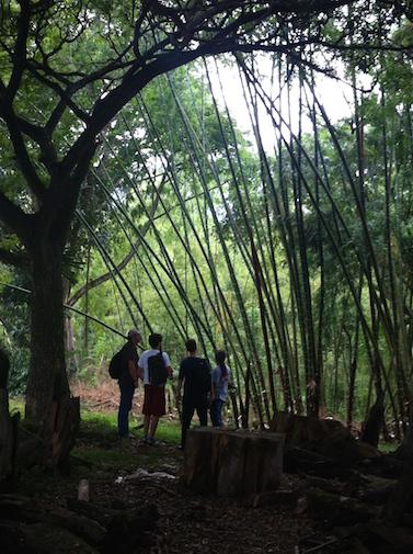 propia bambu arboles